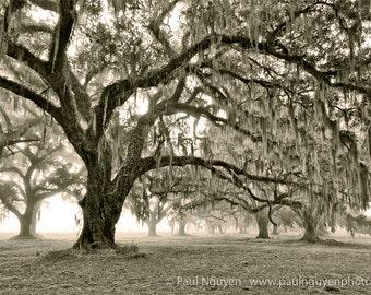 Live Oak Trees Forest black and white photograph, 8x12 print matted on white 12x16 mat.  Live oaks tree, South Carolina, Edisto fog  woods