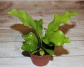 Miniature birds nest fern LIVE plant for terrarium or vivarium with bonus fern