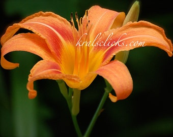 Orange Day Lily Photograph Flower Photography Original Wall Art Green Home Office Decor Orange Yellow Green flower Floral Nursery Bold Color
