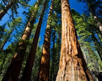Giant Sequoias- Yosemite National Park, Fine Art Photography