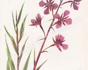 1910 Sensational Rose-bay or French Willow - Epilobium Angustifolium Antique Coloured Plate