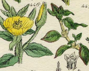 Antique Botanical Print of Wild Flowers, 1914 John Sowerby Primrose, Nightshade, Bryony, Hand-Coloured Flower Plate (441 to 460)