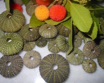 30pcs green sea urchins, Summer collection, a real sea treasure.