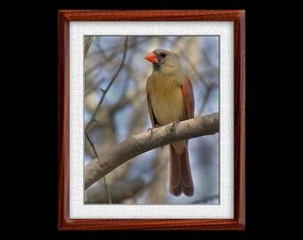 Cardinal Print - 8x10 or 11x14 Cardinal Photograph - Bird Photograph - Bird Print - Cardinal Art (P20)