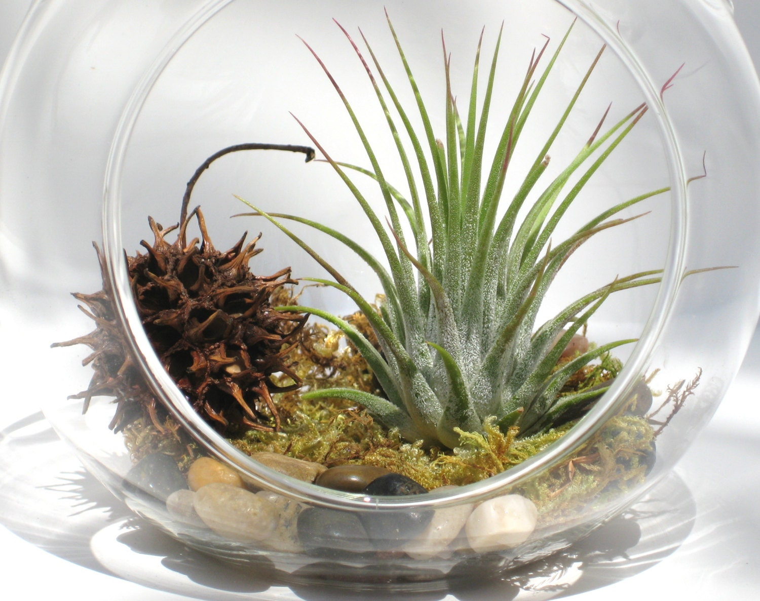 hanging terrarium kit forest floor air plant with moss in. Black Bedroom Furniture Sets. Home Design Ideas