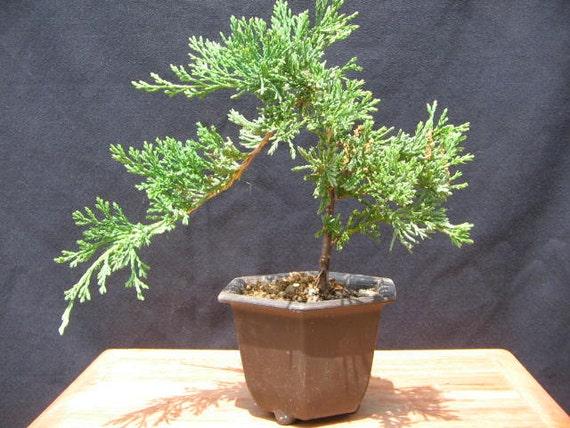 Bonsai Juniperus Horizontalis Wiltonii Blue Rug