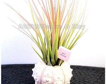 Birthday Decoration, Live Bromeliad Plant Gift, Weddings, Centerpieces,