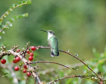 Perched Hummingbird 5x7 Photograph Ruby Throated