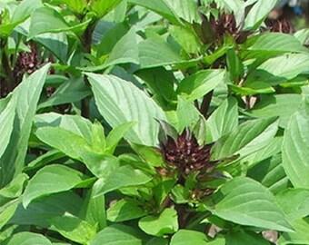 Sweet Basil 3,000 seeds 1000 seeds Heirloom Thai  vegetable plant