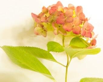 Blush Hydrangea on white background, fine art flower photography, nature flower wall art, print home decor