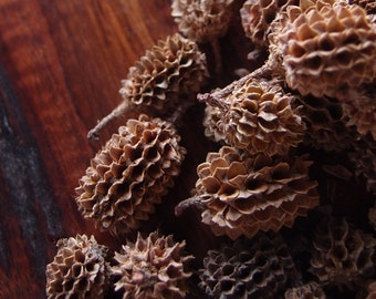 Rustic Wedding - Autumn Decorations - 2 Quarts Dried Casorina Pods - Tiny Pinecones