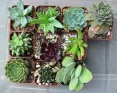 """30 Various Succulents Party Favors - 2"""""""