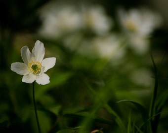 Nature photography, flower photography, windflower photography