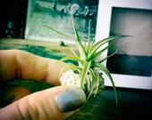 the tiniest garden // air plant // sea urchin // tillandsia // by robincharlotte