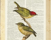 bird-1800's Striped Manakin print