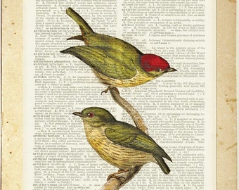bird-1800's Striped Manakin print