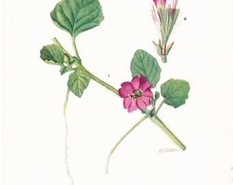 1919 Botany Print - Okenia Hypogaea - Burrowing Four O'clock - Vintage Antique Flower Art Illustration Book Plate for Framing