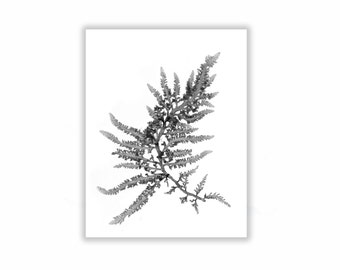 Black and White Botanical Seaweed Print, Wall Decor, Seaweed Prints, Coastal Living, 8x10 Grey