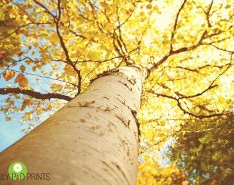 Autumn birch tree photograph - Golden Canopy fine art print - New England, fall, yellow leaves, white birch, rustic, woods, wall decor