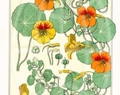 Vintage Botanical Poster Art  Reproduction - Nasturtium by Eugene Grasset