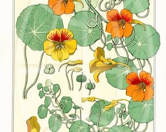 Vintage Botanical Poster Art  Reproduction - Nasturtium by Eugene Grasset