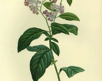 SALE Redoute Botanical Book Print of Heliotrope Buy 3, get 1 free or Buy 5, get 2 FREE
