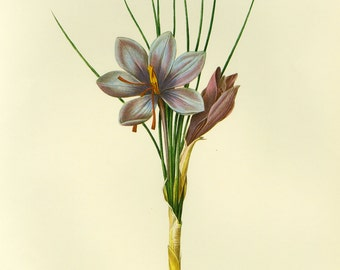 Redoute Botanical Print or Book plate of Crocus SALE~~ Buy 3, get 1 Free