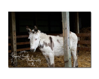 Donkey Photography Print, Animal Nursery Decor Wall Art, Barnyard, Rustic, White, Brown, Gift for Farmer, Rancher, 8x10 or 11x14, Baby Room