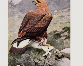 1910 Antique PREY BIRD print, Eagle of the rocks, original antique circa 100 years old print