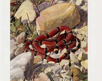 1900s Antique SNAKE print, North American Coral snake