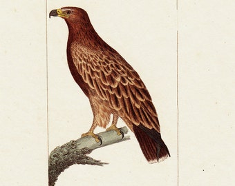 1830 Antique YOUNG EAGLE  engraving, Original antique hand colored 183 years old rare print