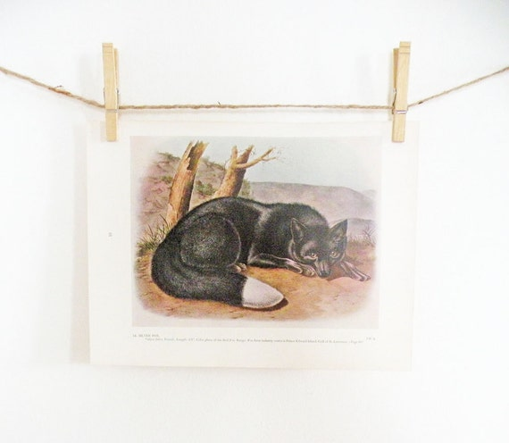 Vintage Audubon Art Print Silver Fox Color Book Plate Wildlife Natural History Lodge Decor Woodland Black Brown