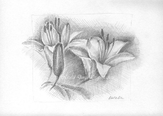 Lily Pencil Drawings Original Drawing Day Lily