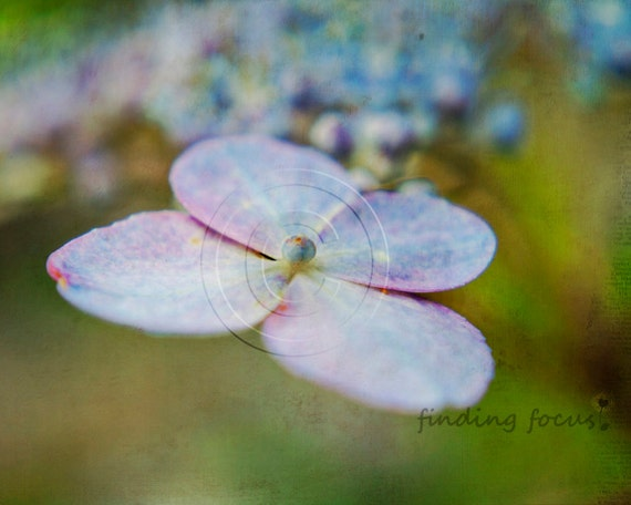 Hydrangea Flower Photography, Lavender Purple Perwinkle Blue Pink Lacecap Spring Green Shabby Cottage, Close-up Flowers Springtime Art Photo