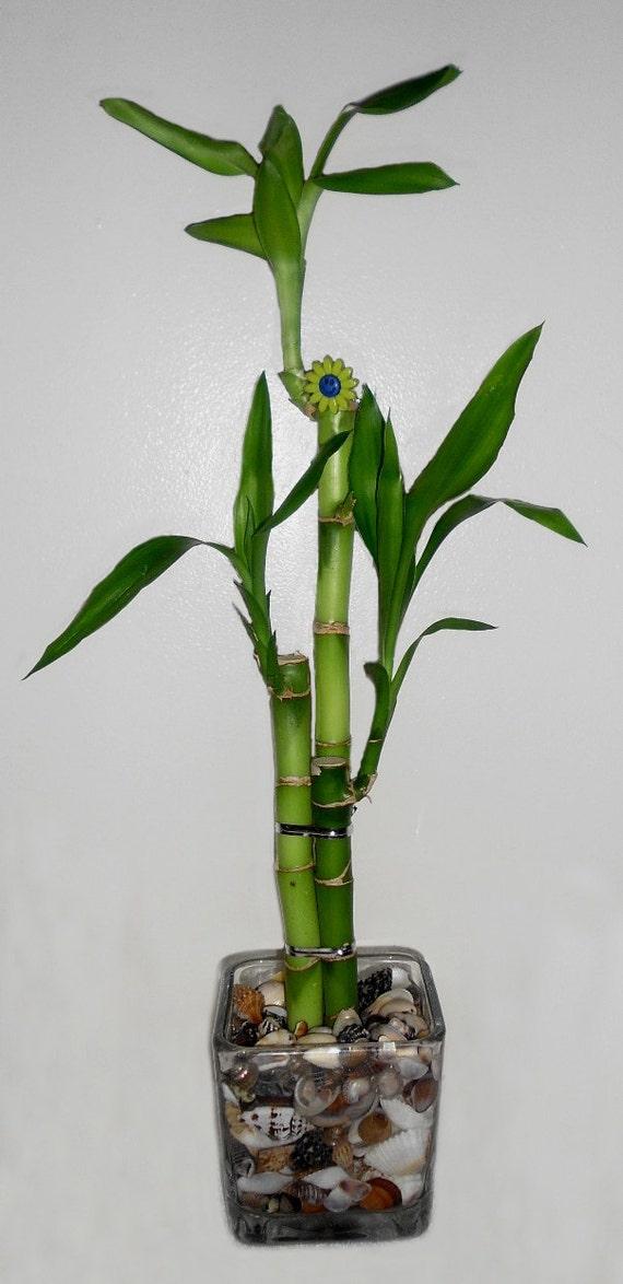 Lucky Bamboo 3 Stalk Arrangement In Glass Vase W Sea Shells