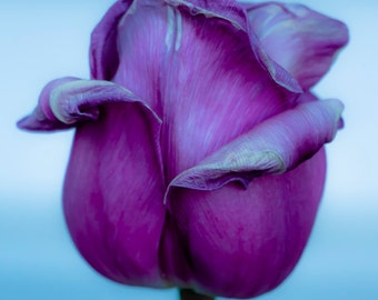 Tulip flower photo, 5x7 fine art photo or Matted print,  Delicate flower picture, Close up photograph of a pretty flower Aging Gracefully