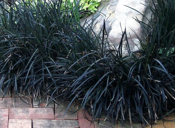 Black Mondo Grass Plants Grown Organically 3 - 4 Inch Containers