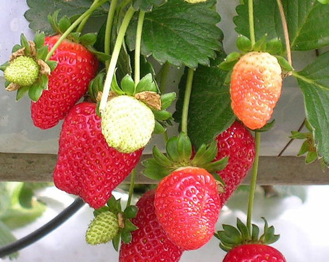 Jewel Strawberry Plants Organic 10 Bare Root Plants - June Bearing Strawberries Shipping Now