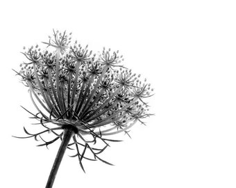 Black and White Queen Anne's Lace Minimalist Nature Fine Art Photography