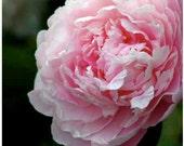 Pink Peony - Glowing Soft Romantic Blush Pink Fine Art Home Decor photo  8x10 Shabby Chic