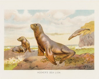 1901 Antique HOOKER'S SEA LION  fine engraving, original antique gorgeous print