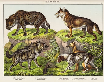 RESERVED for CHARLOTTE 1886 Antique DOG print, fine chromolithograph of canids, Hyena, domestic dogs and wolf, 126 years old large print