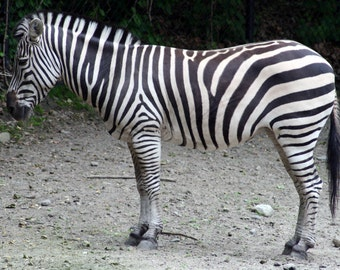 Zebra stock photo image free use