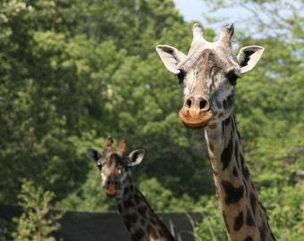 Giraffes stock photo image free use