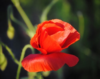 Poppies in May collection No. 4