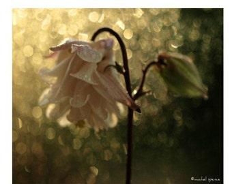 Columbine Flower Photographic Print...Affordable Home Photography Prints Nature Photography Nature Lover Woodland Scene Flower