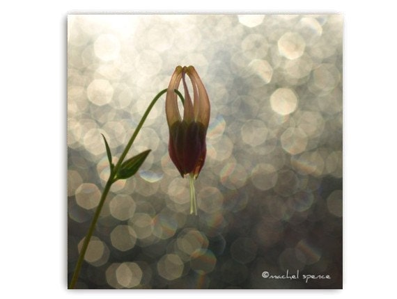 Columbine Flower in the Morning Sun Photograph...Affordable Home Photography Prints Nature Photography Flower Botany Print
