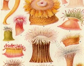 Vintage Double Sided Print North Atlantic  Sea Anemones for Framing