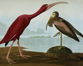 Scarlet Ibis by John James Audubon mono deluxe Needlepoint Canvas