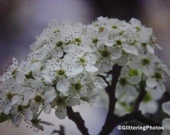 Spring, Blooming, Bradford Pear, Tree, Fine Art, Photography, Print, 8 x 10, Glossy, OOAK